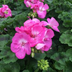 Geranium Droit Candy Rose