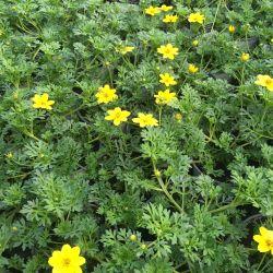 Bidens Ferulifolia Solaire Horizon