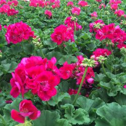 Geranium Droit Flowerfairy Berry