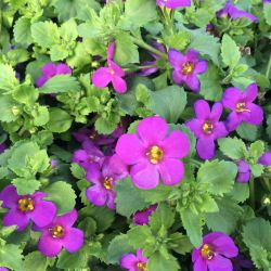 Bacopa Great Violet Glow