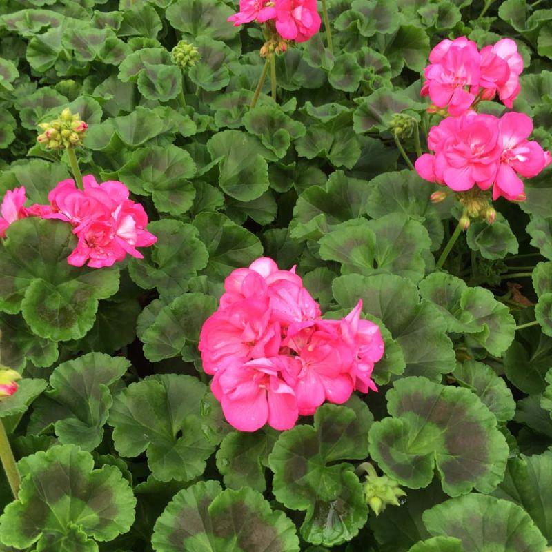 acheter geranium zonal toscana hanna et autres plantes sur coclicoh. Black Bedroom Furniture Sets. Home Design Ideas