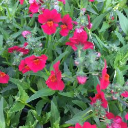 Nemesia Sunsatia Plus Raspberry