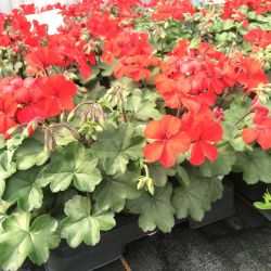 Geranium Lierre Interspecific Caliente Fire