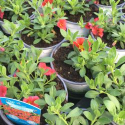 Calibrachoa Aloha Red Cart Wheel