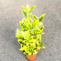 Euonymus fortunei emerald gold