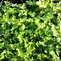 Lierre hedera helix green ripple