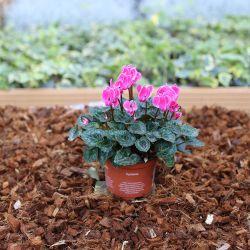 Cyclamen rose