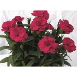 oeillet Dianthus Oscar Cherry