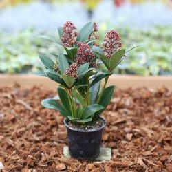Skimmia Japonica vivace rouge