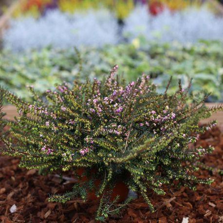 Bruyère Erica Darleyensis rose