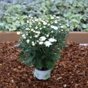 Petit Chrysanthème blanc