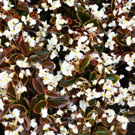 Begonia double gumdrop coco White