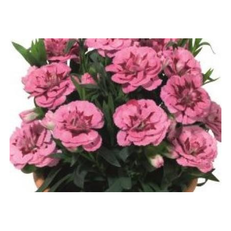 oeillet Dianthus Oscar Pink And Purple