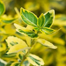 Euonymus fortunei emerald gold