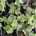 Hedera Helix Yellow Rippel