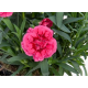 oeillet Dianthus Oscar Purple Wings
