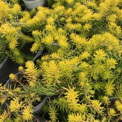 Sedum Mexicanum Gold Mound