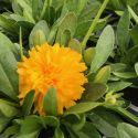 Coreopsis Solanna Golden Sphere
