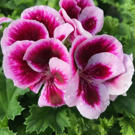 Pelargonium Pac Candy Flower Bicolor