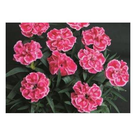 oeillet Dianthus Supertrouper Diwali