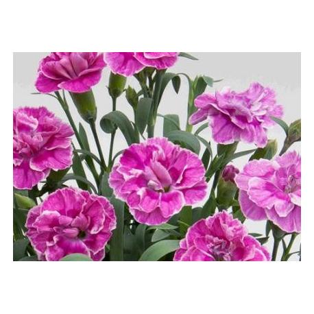 oeillet Dianthus Supertrouper Ilka