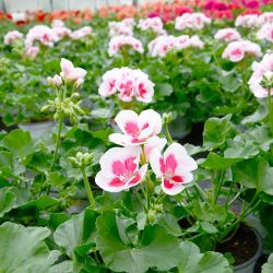 Geranium Droit Americana White Splash