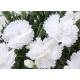 oeillet Dianthus Supertrouper Witta