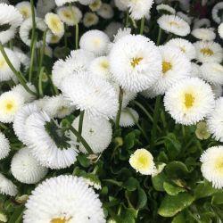 Paquerette Bellis Perennis 'Tasso White'