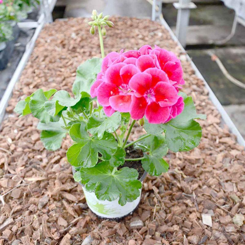 Picture of Live Geraniums Zonal Wine Rose aka Pelargonium hortorum Plant Fit 1QRT Pot
