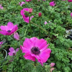 Anemone Coronaria Rose