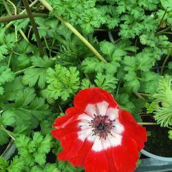 Anemone Coronaria Rouge