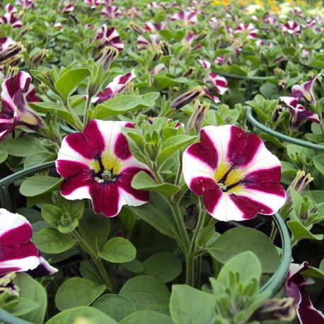 Petunia Cascadias Bicolor Cabernet