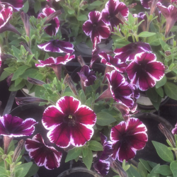Surfinia Cascade Sweetunia Miss Marvelous
