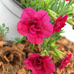 Calibrachoa Hybrida Double Burgundy Red