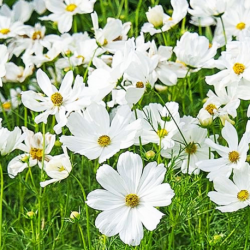 Cosmos Cantale White