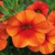 Calibrachoa Callie Orange