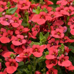 Diascia Breeze Plus Red