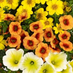 Petunia Confetti Garden Sunshine