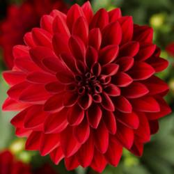 Dahlia Grandalia Red