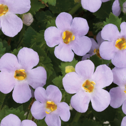 Bacopa Gulliver Blue Sensation