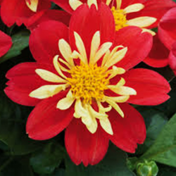 Dahlia Surprise Cingy
