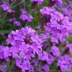 Verveine Rigida Venosa Santos Deep Lilac Bleu
