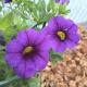 Calibrachoa Hybrida Deep Blue