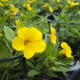 Calibrachoa Hybrida Deep Yellow