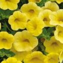 Calibrachoa Callie Hybrida Deep Yellow
