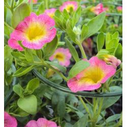 Calibrachoa Pink With Yellow Eye