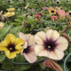 Petunia Cascadias Autumn Mystery