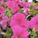 Petunia Surfinia Rose Pink