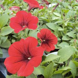 Petunia Surfinia Deep Red