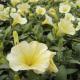 Petunia Surfinia Yellow Dream